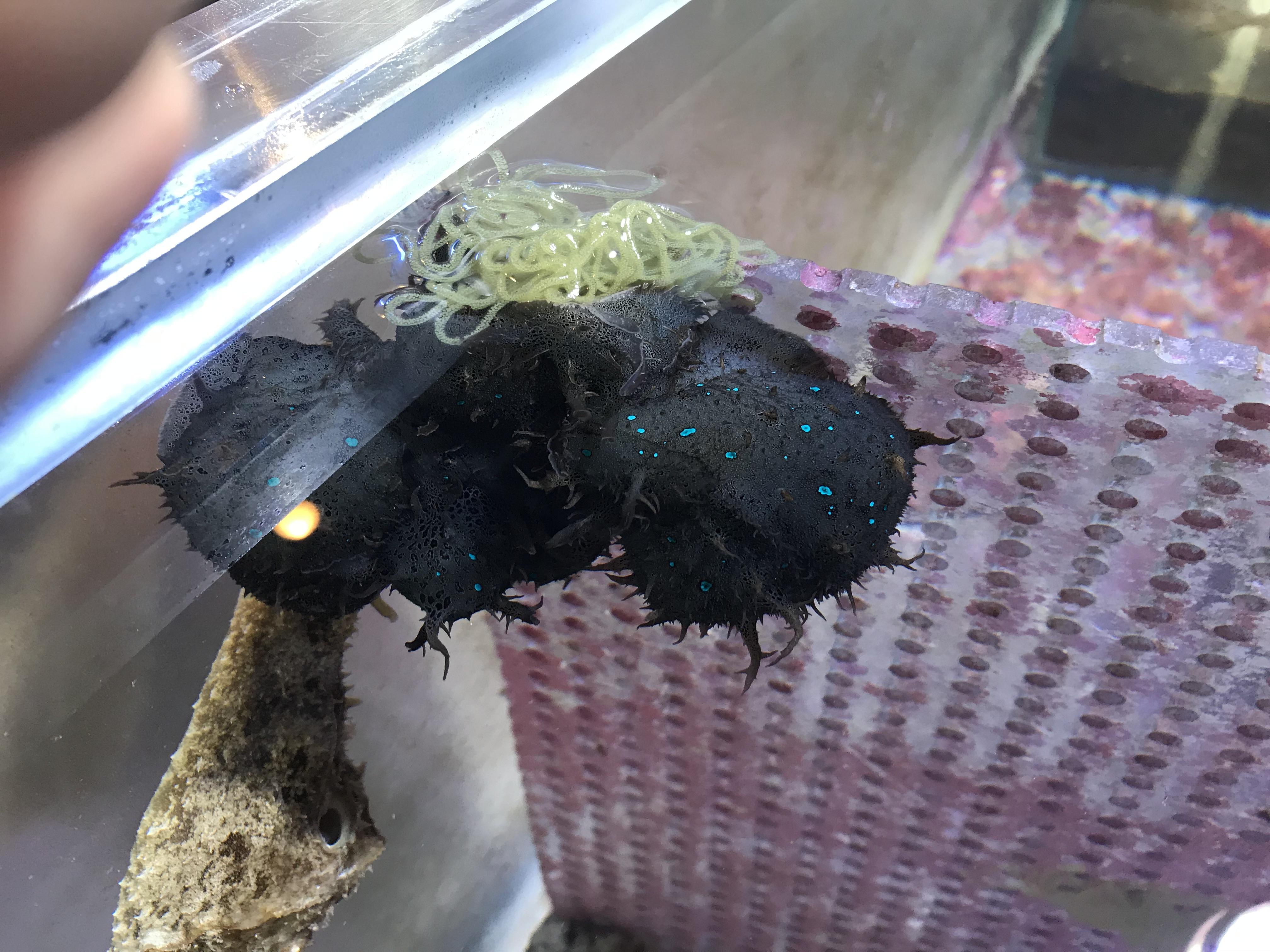 食べる アメフラシ アメフラシ Aplysia